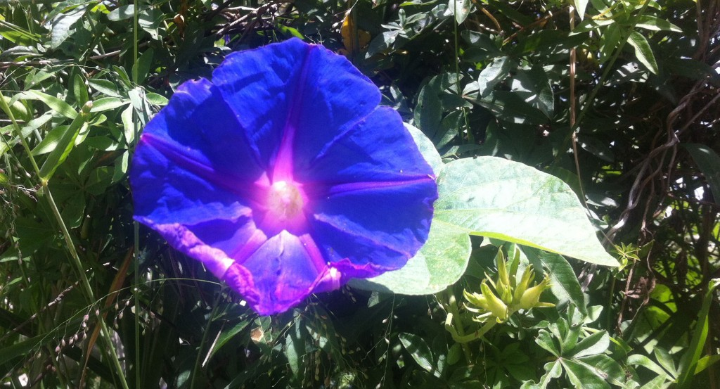 Bue flower in Buenos Aires