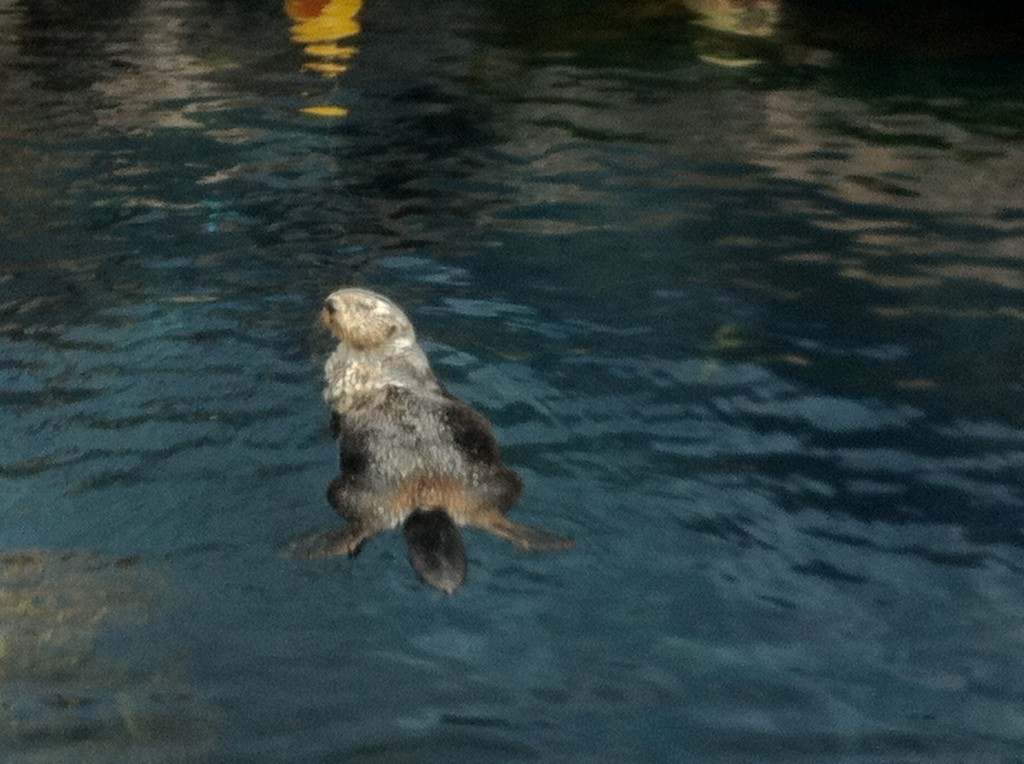 Otter swimming in Lisbon Aquarium