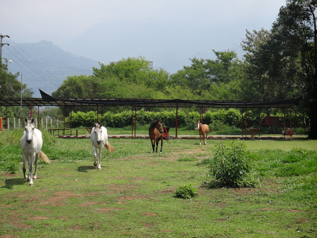 Green pasture with horses in the middle of it. This pasture happens to be the landing zone for the school where I learned how to paraglide in Bucaramanga, Colombia.