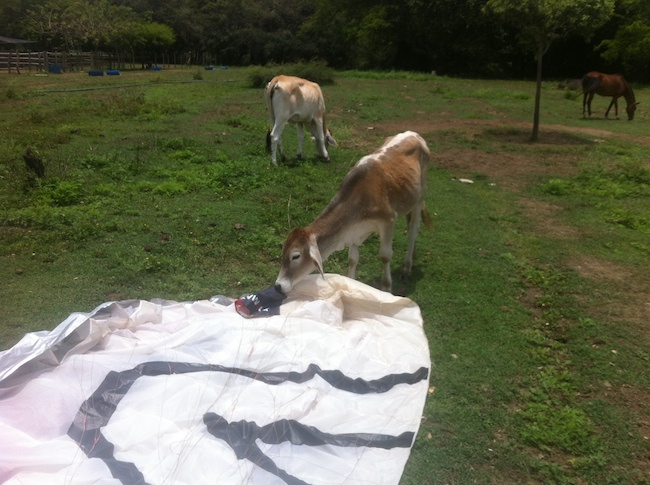 A cow bending down to sniff my paraglider in Roldanillo, Colombia.